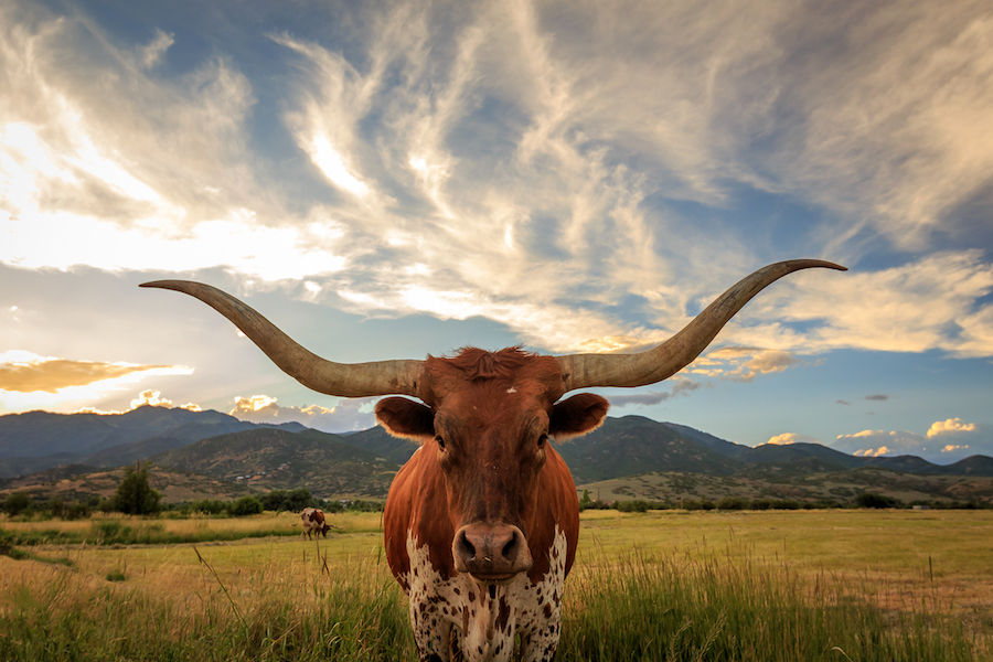 Have you met Bevo XV?